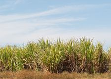 Sugar cane plantation farm with blue sky Royalty Free Stock Photo