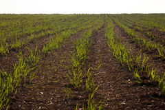 Sugar cane plantation. Farm industry Royalty Free Stock Images