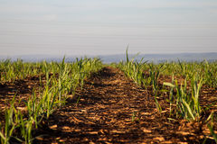 Sugar cane plantation. Farm industry Stock Photos