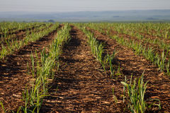 Sugar cane plantation. Farm industry Stock Photography