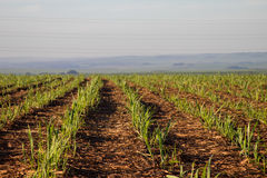 Sugar cane plantation. Farm industry Royalty Free Stock Photography