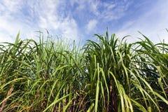 Sugar cane plantation, Guadeloupe Stock Photos