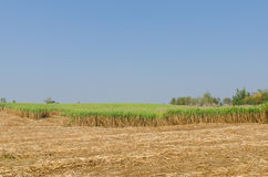 Sugar cane plantation Royalty Free Stock Image
