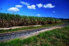 Sugarcane plants and rail tracks royalty free stock images
