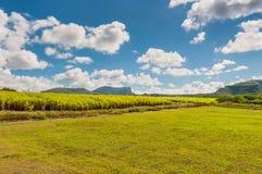 Sugar cane plantation in Mauritius. Plantation of sugar cane on Mauritius Island. Agriculture in tropical climate stock photos