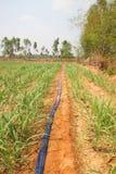 Sugar cane plantation Royalty Free Stock Image