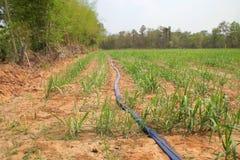 Sugar cane plantation Stock Photography