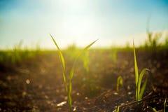 Sugar Cane plantation plant stock image