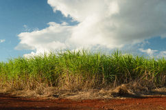 Sugar cane plantation. In São Pulo, Brazil royalty free stock photography