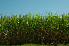 Sugar Cane Plantation Royalty Free Stock Photo