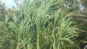 Sugar Cane Plants Blowing en el viento almacen de metraje de vídeo