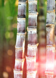 Sugar cane plants. In field royalty free stock images