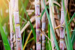 Sugar cane plants in growth at field. It is raw material of sugar production stock photography