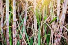 Sugar cane plants in growth at field. It is raw material of sugar production royalty free stock photography