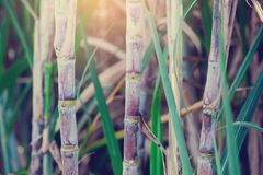 Sugar cane plants in growth at field. It is raw material of sugar production royalty free stock image