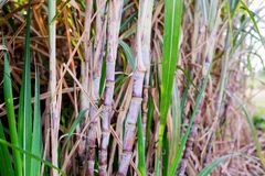 Sugar cane plants in growth at field. It is raw material of sugar production stock photo