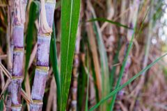 Sugar cane plants in growth at field. It is raw material of sugar production stock images