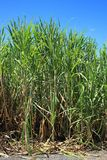 Sugar cane plants with lush green leaves Stock Images