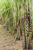 Sugar cane plants nature background. Stock Images