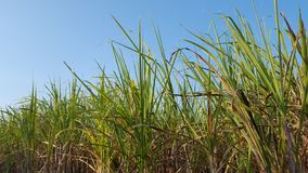 Sugar cane plants with various variants. Sugar cane is one of the raw materials for making sugar that has high business value royalty free stock photos