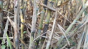 Sugar cane plants with various variants. Sugar cane is one of the raw materials for making sugar that has high business value stock photo