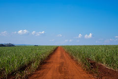 Sugar cane and road. Blue sky Royalty Free Stock Image