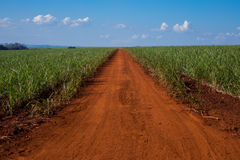 Sugar cane and road. Blue sky Stock Photos