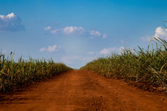 Sugar cane and road. Blue sky Royalty Free Stock Photo