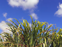 Sugar Cane and sky Stock Images