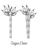 Sugar cane stem branch and leaf vector hand drawn illustration.. Sugarcane Black on white background. Engraving style Stock Image