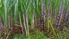 Sugar cane stems, sugar-producing plants. These plants are widely planted in Asia stock photos
