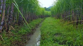 Sugar cane stems, sugar-producing plants. These plants are widely planted in Asia stock photography