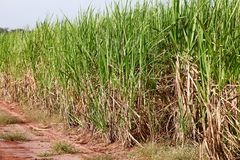 Sugar cane. Plantation on countryside of Brazil royalty free stock photography