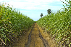 Sugar cane Stock Photography
