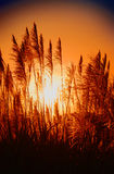 Sugar cane sunset Royalty Free Stock Photography