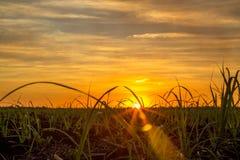 Sugar cane sunset plantation Stock Images