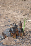 Sugar cane to grow. Sugar cane after harvest in field Royalty Free Stock Photo