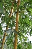 Sugar Cane. Tree. Balenese nature in Ubud. Indonesia stock image
