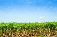 Sugar cane trees Stock Photography