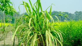 Sugar cane in wide view mode. Sugarcane, or sugar cane, are several species of tall perennial true grasses of the genus Saccharum, tribe Andropogoneae Royalty Free Stock Photography