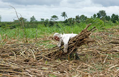 Sugar cane worker Royalty Free Stock Photos