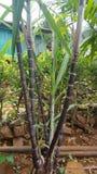Sugar canes stock image