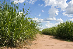 Sugar canes field Royalty Free Stock Image