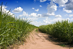 Sugar canes plantation. Plantation of sugar cane from Brazil stock photography