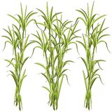 Sugar CaneSugar Cane Exotic Plant Vector Illustration isolated on White. Sugar Cane are several species of Tropical tall perennial true grasses, and it is used royalty free illustration