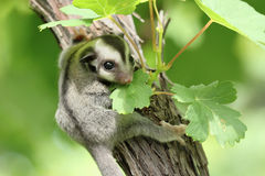 Sugar-glider. Climb on the tree Royalty Free Stock Photography