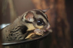 Sugar glider. The detail of sugar glider Royalty Free Stock Photos