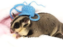 Sugar Glider Images stock