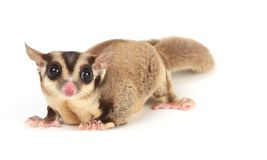Sugar glider Royalty Free Stock Image