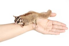 Sugar glider Royalty Free Stock Photo